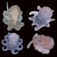 Census of Marine Life Washington DC 9-Nov-2008 Among report's revelations: Antarctic ancestry of many octopus species, behemoth bacteria, colossal sea stars, mammoth mollusks, more In a report on progress towards...