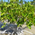 United Nations University, Institute for Water, Environment and Health, Canada 14 Nov 2012 Loss of mangroves to fish farms, other development, a poor economic trade-off risking human and environmental well-being […]