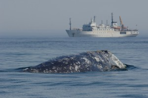 Western Gray Whale with reseach vessel (c) Yuri Yakovlev