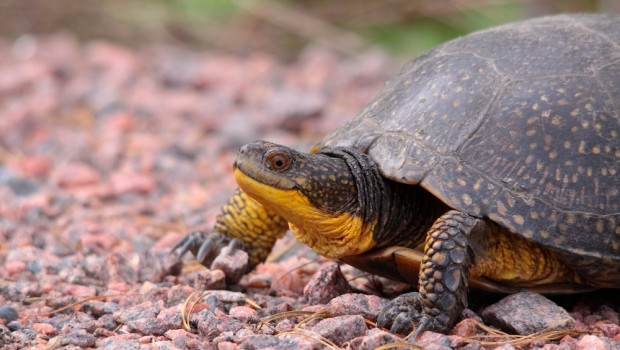 Long Point Causeway Improvement Project, Long Point, Canada 89 percent fewer turtles venture onto Lake Erie's Long Point Causeway A newly completed project in a remote corner of southwestern Ontario is […]